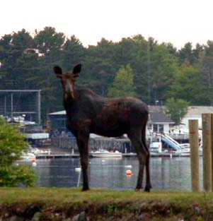 Moose in York Maine